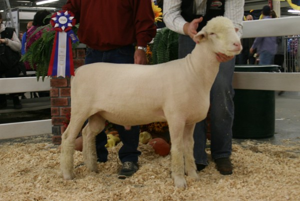 2015 Champion Dorset Ram Brien G&L 56C