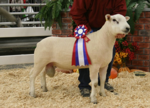 2015 All Other Breeds Ram - Texel - Brien G&L 49C