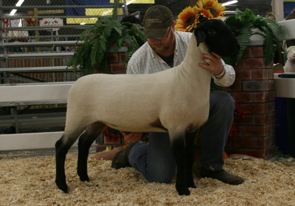 4th Place Slick Sheared Suffolk Ewe Lamb - Ridgeline 26C