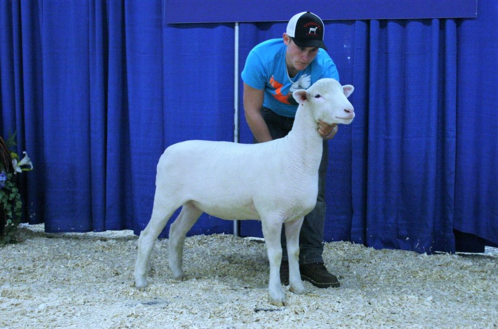 MBK 92C - 3rd place dorset ewe lamb, sold to Noah McNab